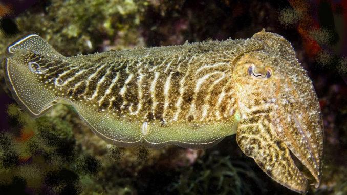 Cuttlefish courtesy of Wikipedia
